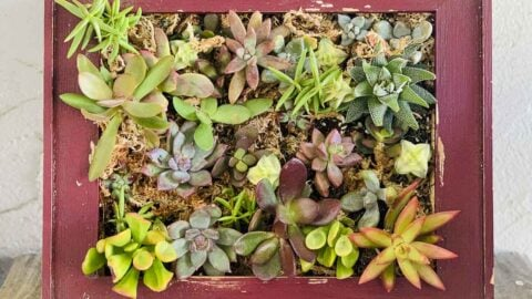 Living wall made from a rustic wood frame surrounding a bed of small succulents in sphagnum moss